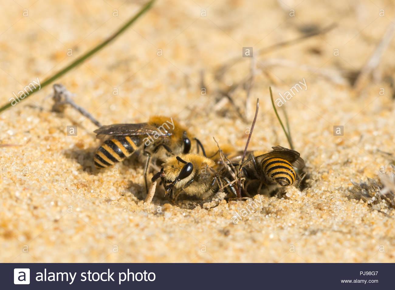 Masonry Bees in Sand