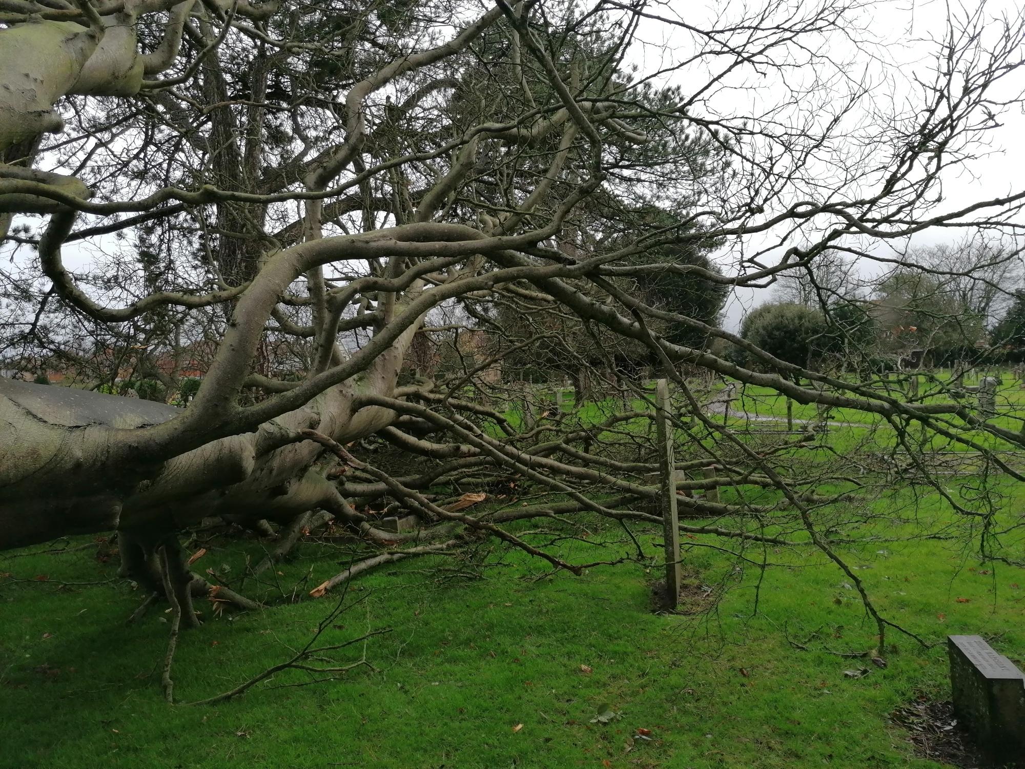 Fallen Beech Tree at Cemetery