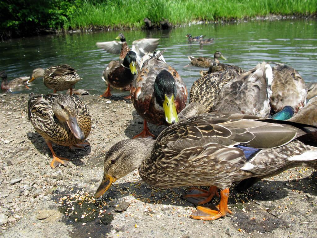 Ducks on lake shore eating seed